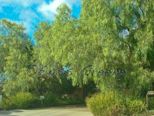 Green trees DSC07054 copy