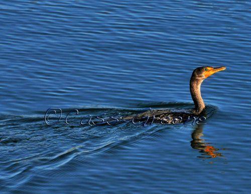 Water duck DSC_1474 copy