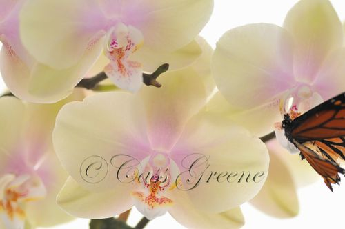 Orchid Butterfly DSC1949 copy