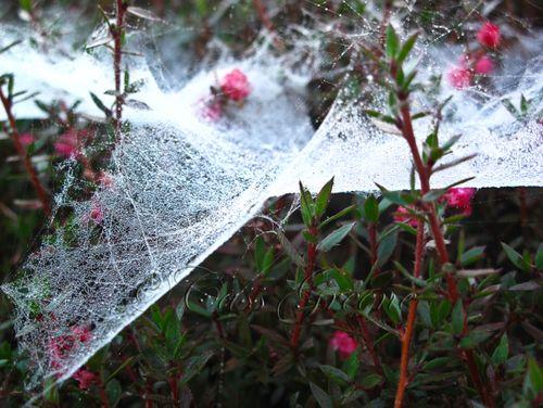 Webs & dew 4904