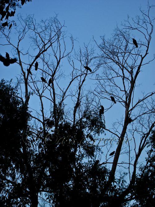 Black birds fly 4833