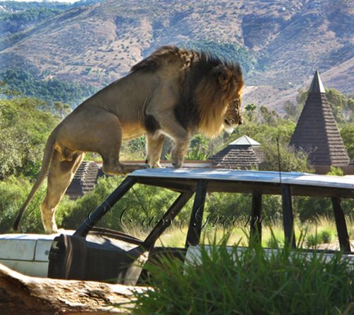 Lion 2009-10-31 01.55.41 PM IMG_1086